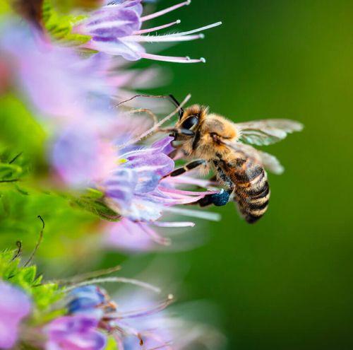 Honig mit Matcha